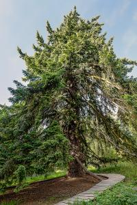 Douglas fir 172 years old